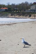 Seagull at Easton's Beach